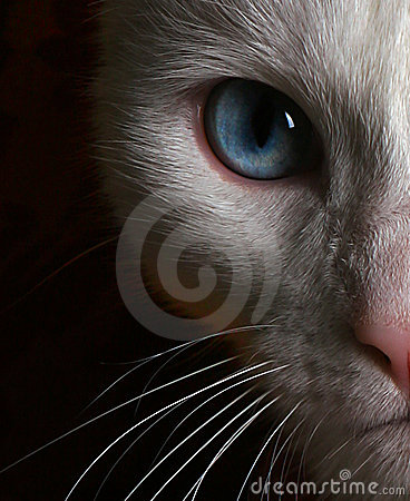 Photo of Face of White Cat with Blue Eyes