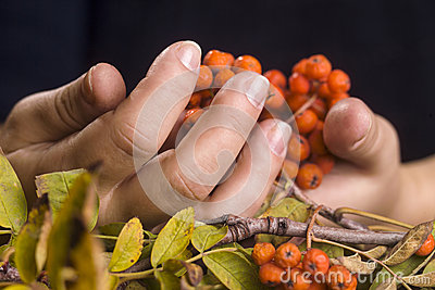 Female hands and rowan