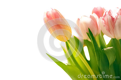 Photo of fresh blurred pink tulips