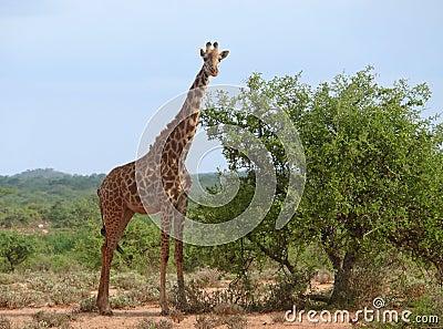 Photo of the giraffe in savannah.
