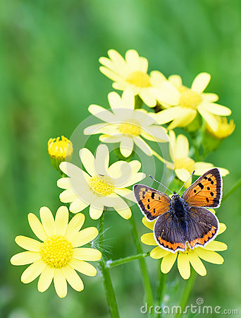 Free Photo Of Brown Butterfly On Yellow Flowers In Spring Over Green Royalty Free Stock Photography - 74597347