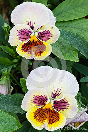 Free Photo Of Garden Flowers Pansy Royalty Free Stock Photos - 26192568