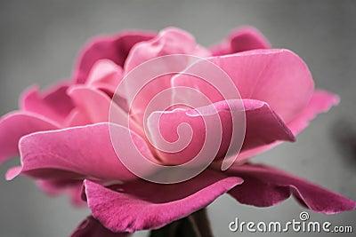 Photo Of Pink Petal Flower Free Public Domain Cc0 Image