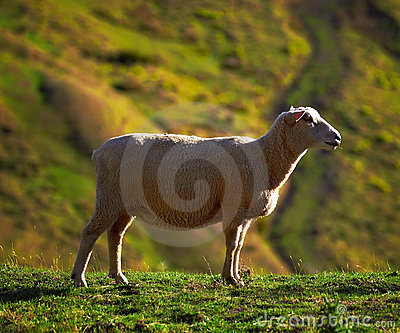 A photo of Sheep