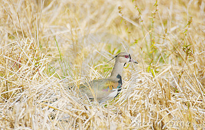 Photo of a southern lapwing bird