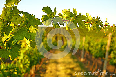 Photo vine leaves in the background view on vineyard