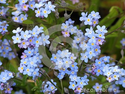 Myosotis alpestris or alpine forget-me-not flowers Stock Photo