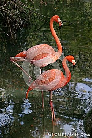 Free Photogenic Flamingos Stock Images - 141414