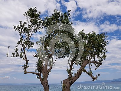 A photograph of young olive tree with beautiful background. Stock Photo