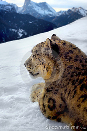 Photomontage of a snow leopard