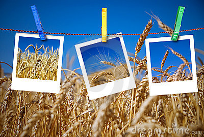 Photos of wheat hang on rope with pins