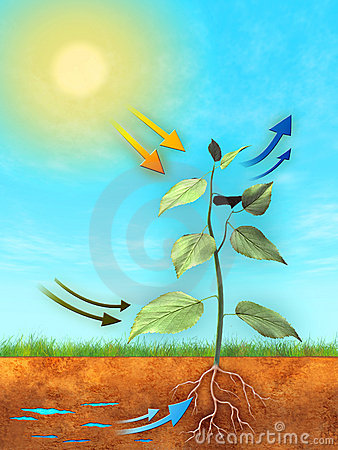 Free Photosynthesis Stock Photography - 12350962
