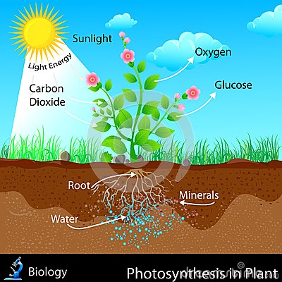 Free Photosynthesis In Plant Stock Images - 31172134