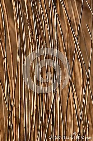 Phragmites australis, the common reed