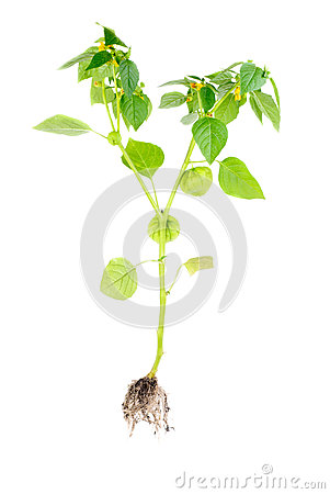 Free Physalis With Flower,bud,lantern And Root Isolated On White Background Stock Photo - 28475500
