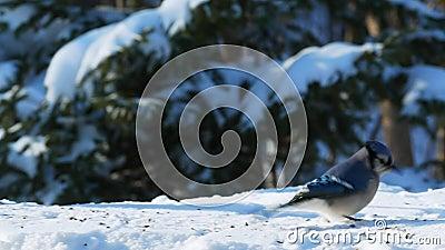 Piękny ptak niebieski na śniegu jedzący nasiona w słoneczny dzień - corvidae cyanocitta cristata zbiory