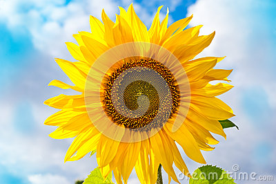 Piękny słonecznik