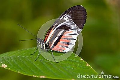 Piano Key butterfly (Heliconius melpomene).