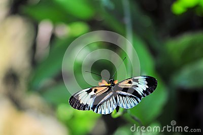 Piano Key butterfly (Heliconius)