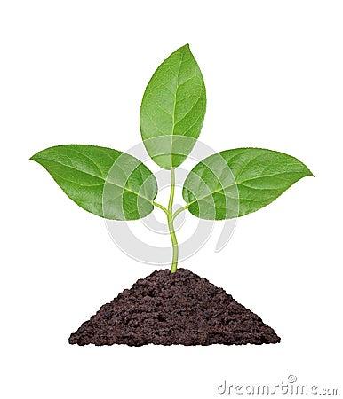 Pianta con i fogli di verde e la manciata di terra for Pianta con la i