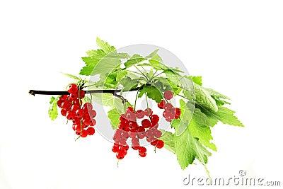 Pianta con le bacche rosse fotografia stock libera da for Pianta ornamentale con bacche rosse