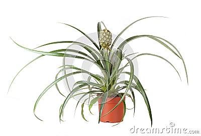 Pianta di ananas immagini stock immagine 22574884 for Pianta ananas