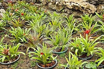 Pianta di ananas di vriesea platynema immagini stock for Pianta ananas