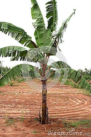 Pianta di banana immagine stock libera da diritti for Pianta di more