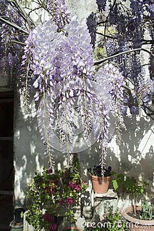 Pianta di glicine in un vecchio cortile con altri fiori for Pianta di more