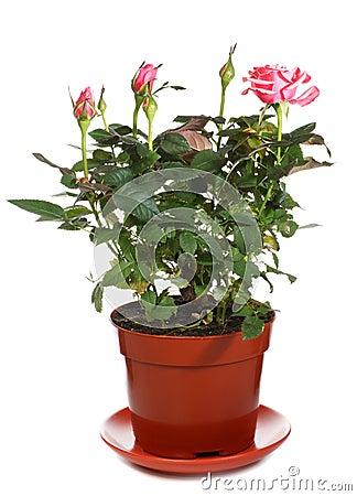 Pianta di rosa sbocciante in flowerpot immagini stock for Rosa pianta