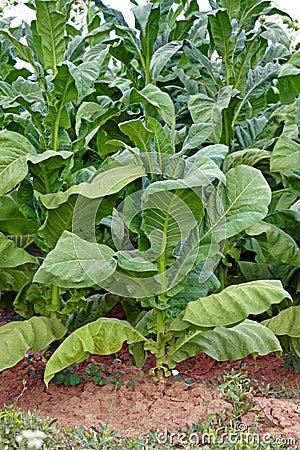 Pianta di tabacco in azienda agricola fotografia stock for Pianta di more