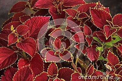 Pianta rossa frondosa