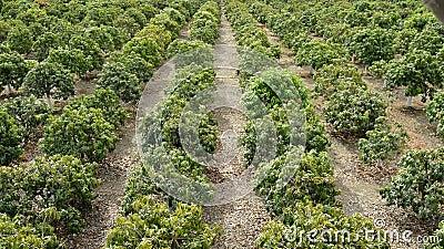 Piantagione degli alberi da frutto del mango stock footage for Alberi da frutto prezzi