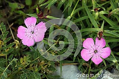 Piatra Craiului Pink (Dianthus callizonus)
