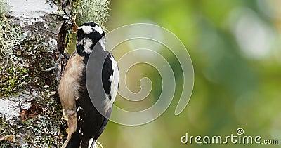 Pica-pau peludo - villosus de Leuconotopicus, vivendo no Bahamas, Canadá, Costa Rica, Guatemala, Honduras, México, Nicarágua, P video estoque