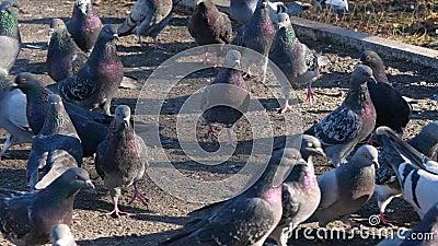 Piccioni nella sosta Alimentazione di del pollame stock footage