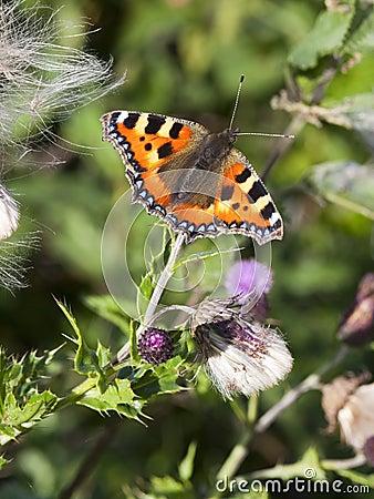 Piccola farfalla di guscio di testuggine