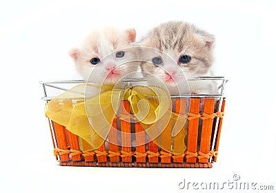 Piccoli gattini in un cestino immagine stock libera da for I gattini piccoli
