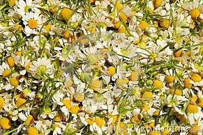 Picked chamomile