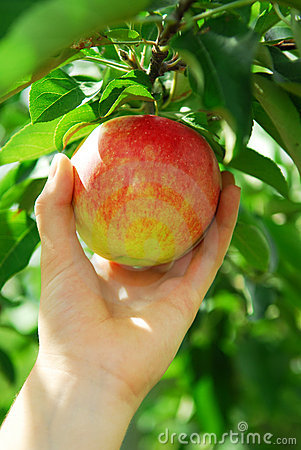 Free Picking An Apple Royalty Free Stock Photos - 3067828