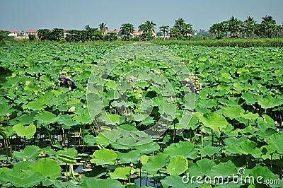 Picking lotus Editorial Image
