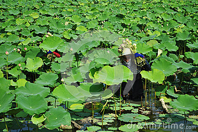 Picking lotus Editorial Stock Photo