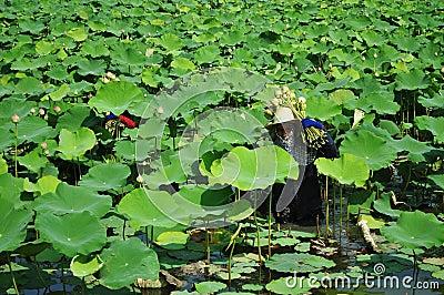 Picking lotus Editorial Stock Photo