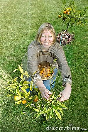 Free Picking Mandarines Royalty Free Stock Photos - 14267638