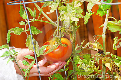 Picking patio tomato