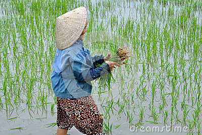 Picking  Rice Editorial Stock Image