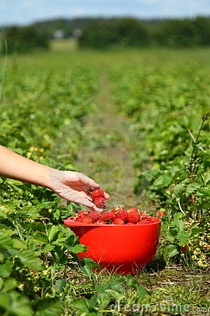 Free Picking Strawberries Royalty Free Stock Photography - 9869487