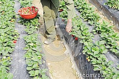 Picking strawberries in field