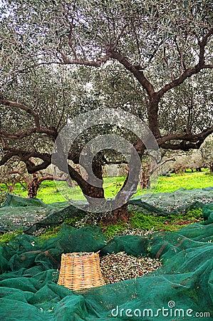 Picking up olives