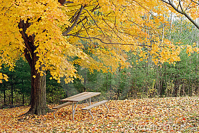 Picnic table under a beautiful yellow maple tree